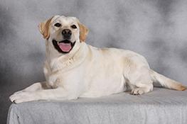 Лабрадор коленные суставы фитомины для суставов собак